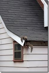 squirrel-entering-house